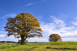 Oak Trees in Field