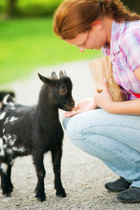Feeding a Baby Goat: Young Woman feeding a Baby Goat