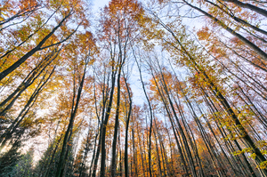 Beech Tree Forest in Autumn: Tall Beech Trees in late Autumn, Leafs almost gone, Wide Angle Shot from low Position