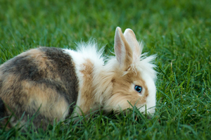 Blue Eyed Rabbit: Blue Eyed Rabbit sitting in Grass eating