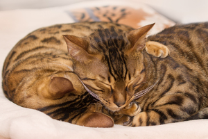 Sleeping Bengal Cats