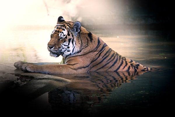 Tiger havin a Bath: Siberian Tiger