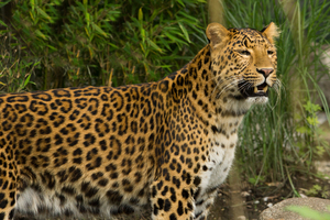 Leopard: Leopard watching, Mouth open
