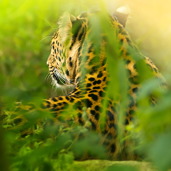 Leopard in Jungle: Leopard hidden in green Leaves