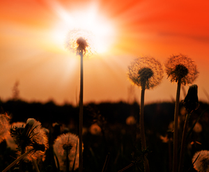Dandelion at Sunset