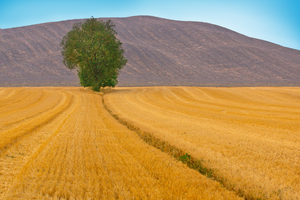 Tree in Field, Tuscany: Single Tree in Stubblefield, Hill in Background. Tuscany, Italy