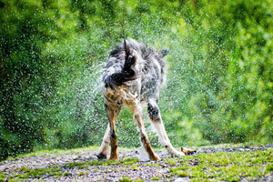 Dog shaking: Dog shaking Water out of his Fur