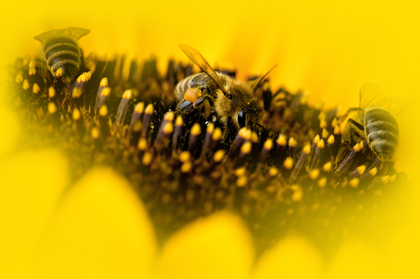 Three Bees on Sunflower: Three Bees working on a Sunflower