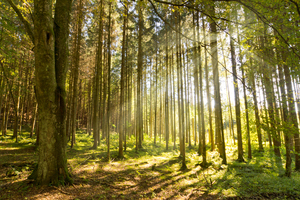Forest Sunburst: Sun shining into lush green Forest