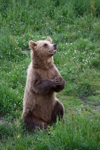 Brown Bear begging for Food: Brown Bear sitting in Grass and begging for Food