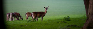Deers: Group of Deers on green Field near Forest, Dawn