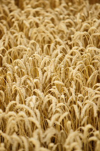 Ripe Wheat: Close Up of Ripe Wheat Field