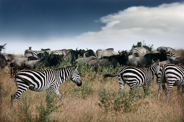 Wildebeest and Zebras in the M: Wildebeest and Zebras in Maasai Mara, analogue Shot from 1995