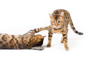 Bengal Cats playing