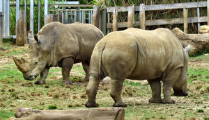 rhino relations2: pair of grazing white rhinos