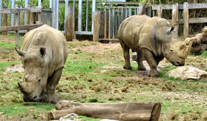 rhino relations1: pair of grazing white rhinos