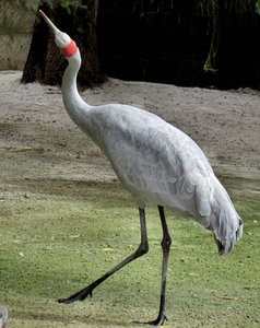 dancing brolga1: Australian brolga - large crane - ending its dancing display