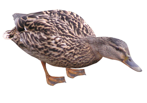 Duck: Female duck