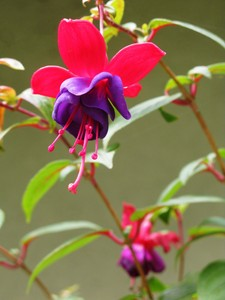 hanging fuchsia: none