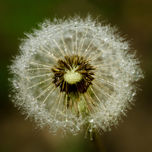 Dandelion with bubbles