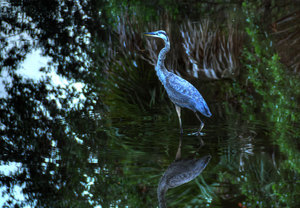 Blue Heron 02: Blue Heron in Creek off Apalachicola Bay