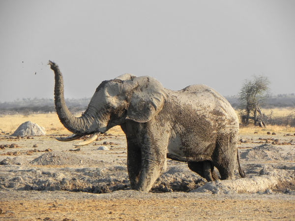 elephant in mud: photo taken in Botswana