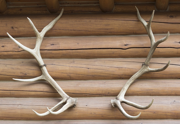 Antlers: Elk (wapiti) antlers mounted as a decoration on a log cabin in Canada.