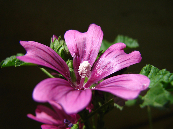 Malva sylvestris_1: I took this photo in a sunny day, I tried an angel in which the background was in shadow so it looks almost black in this photo.