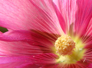 Iranian Hibiscus_2: I planted a seed of an Iranian hibiscus and this photo is its flower!