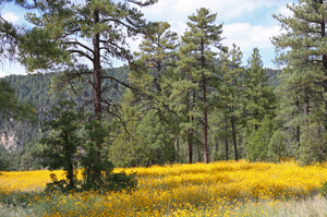 Golden Fields: Small yellow flowers at the top of Oak Creek Canyon in Arizona, USA.