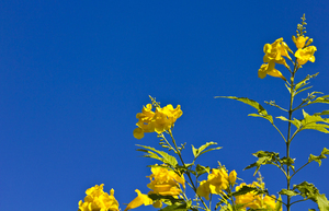 Yellow on Blue: Some Yellow flowers contrasted against Blue Sky.