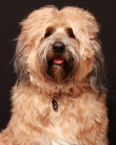 Tibetan Terrier Dog 1: My Tibetan Terrier on his 4th birthday!