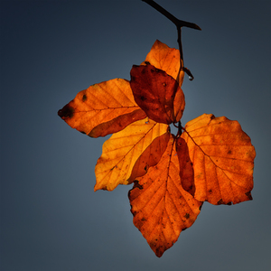 Leaves: Autumn leaves with the blue sky background