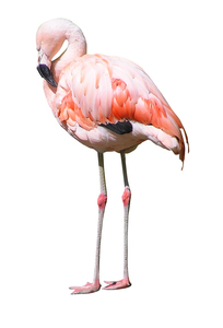 Flamingo: A huge wading bird.