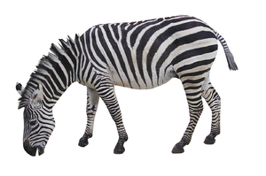 Zebra: A striped horse.