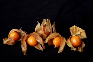Five Physalis