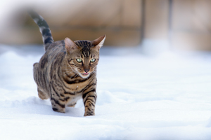 Bengal Cat running in Snow: Bengal Cat running in snowy Garden