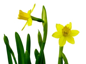 Easter daffodils: Easter daffodils isolated with white background.