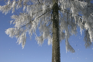 thawing snow: thawing snow falls from winter tree