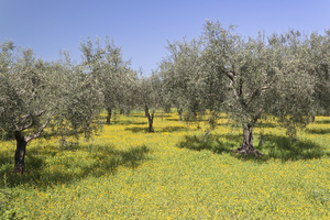 Orchard flowers: Wild flowers growing in an olive orchard in southern Italy.