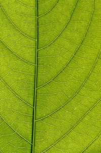 Natural Highways 2: A close view to a leaf shows something similar to city streets.