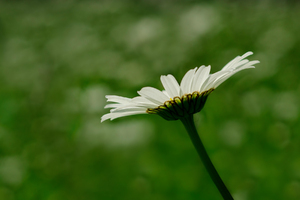 White daisy: no description