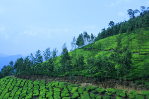 tea Plantation: Tea Plantation In Kerala, munnar