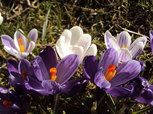 Delightful Crocus: Sparks of colour amidst winter gloom