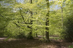Fresh spring trees: Fresh green leaves of trees in spring in Oxfordshire,England.