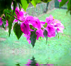 Pink Bougainvillea 4: A photo of pink bougainvillea suspended over water. You may prefer this:  http://www.rgbstock.com/photo/nune6Eo/Pink+Bougainvillea  or this:  http://www.rgbstock.com/photo/n1BZxmE/Pink+Bougainvillea