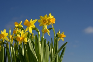 Easter Daffodils: Bunch of easter daffodils with bright summersky in the background.