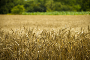 Farm field: Wheat on the farm field with green background