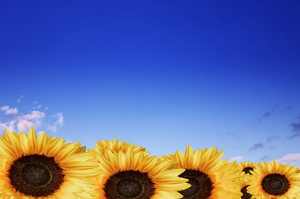 Sunflowers against bile sky