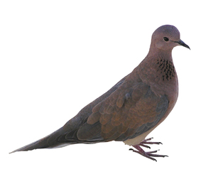 Pigeon: A pigeon isolated.